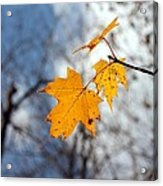 Maple On The Blue Acrylic Print by Abril Gonzalez