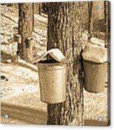 Maple Sap Buckets Acrylic Print