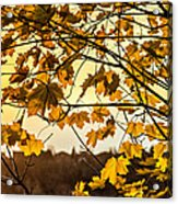Maple Sunset Acrylic Print