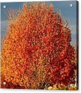 Maple Tree Acrylic Print