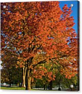 Maple Trees Acrylic Print