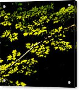 Maples Against Black Acrylic Print