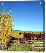 Marabou Cattle Herd Acrylic Print