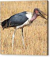 Marabou Stork Kenya Acrylic Print
