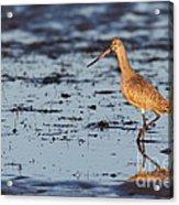 Marbled Godwit At Sunset Acrylic Print