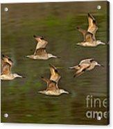 Marbled Godwit Flock Flying Acrylic Print