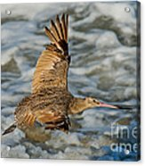 Marbled Godwit Flying Over Surf Acrylic Print