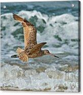 Marbled Godwit Over Surf Acrylic Print