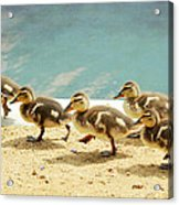 March Of The Ducklings Acrylic Print