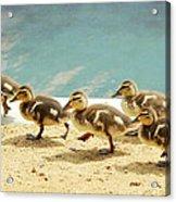 March Of The Ducklings Acrylic Print by Fraida Gutovich