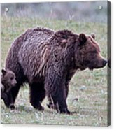 Marching Mama Grizzly And Cub  Acrylic Print