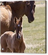 Mare And Foal   #0659 Acrylic Print