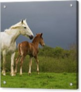 Mare And Foal, Co Derry, Ireland Acrylic Print