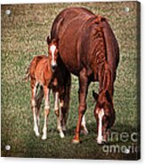 Mare With Foal Acrylic Print