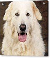 Maremma Sheepdog Acrylic Print