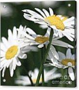 Marguerite Blossom Acrylic Print