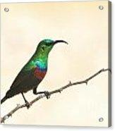 Marico Sun-bird Colors Acrylic Print