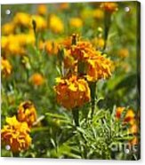 Marigold Flowers Acrylic Print
