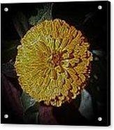 Marigold Digitized Acrylic Print