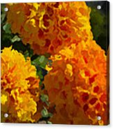 Marigold Mops Acrylic Print
