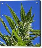 Marijuana Acrylic Print