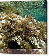 Marine Algae Acrylic Print by Science Photo Library