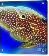 Marine Betta Fish Acrylic Print