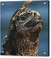 Marine Iguana And Lava Lizard Acrylic Print