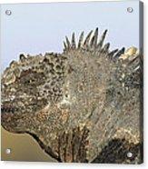 Marine Iguana Male Santa Cruz Island Acrylic Print