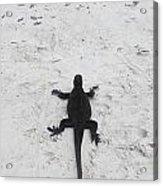 Marine Iguanas Galapagos Acrylic Print