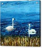 Marion Lake Swans Acrylic Print