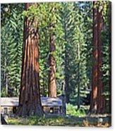 Giant Sequoias Mariposa Grove Acrylic Print