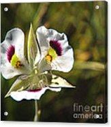 Mariposa Lily Acrylic Print