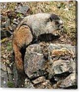 Marmot 1 Acrylic Print