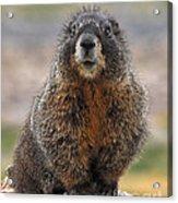 Marmot Acrylic Print