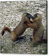 4m09150-02-marmot Fight Acrylic Print