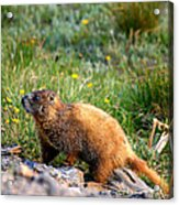 Marmot In Spring Acrylic Print by Rebecca Adams
