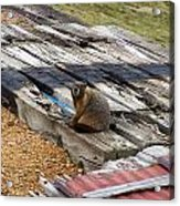 Marmot Resting On A Railroad Tie Acrylic Print