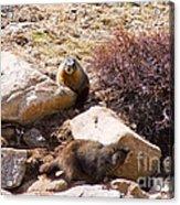 Marmots On Mount Evans Acrylic Print