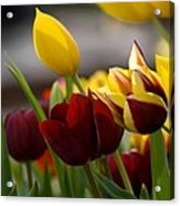 Maroon And Gold Tulips Acrylic Print