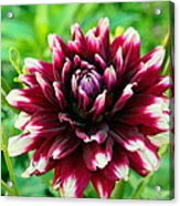 Maroon And White Dahlia Flower In The Garden Acrylic Print