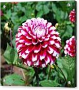 Maroon And White Flower Acrylic Print