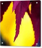 Maroon And Yellow Acrylic Print