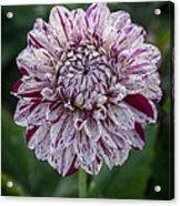 Maroon Speckled Dahlia Acrylic Print