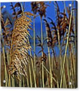 Marsh Grass At Northside Park Acrylic Print