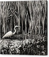 Marsh Hunter Acrylic Print
