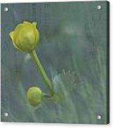 Marsh Marigold Bud Acrylic Print