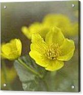 Marsh Marigolds Acrylic Print