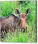 Marsh Moose Acrylic Print