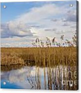 Marsh Reed Acrylic Print